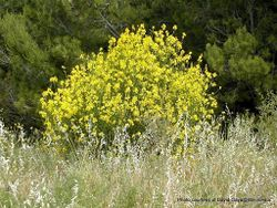 Phil Bendle Collection:Spartium junceum (Spanish broom)
