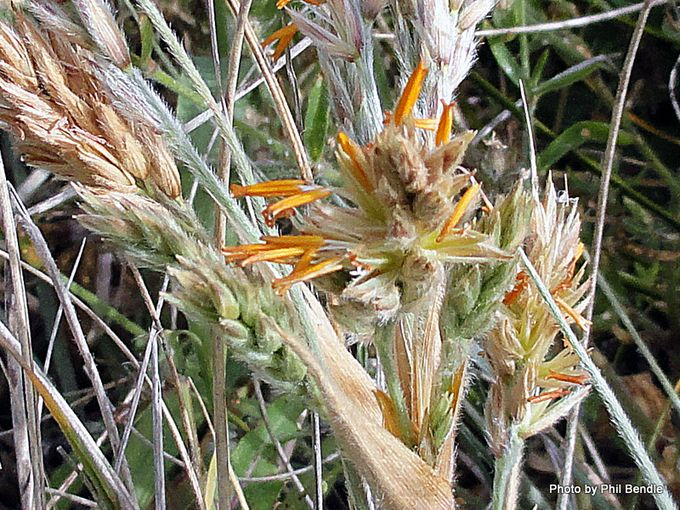 1-Spinifex sericeus with male flowerheads-003 2 .JPG