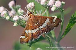 Phil Bendle Collection:Caterpillar of the Hawaiian beet webworm moth (Spoladea recurvalis)