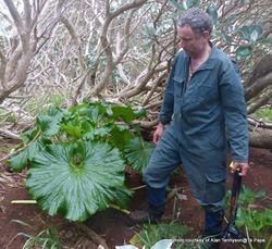 Phil Bendle Collection:Stilbocarpa robusta (Punui)