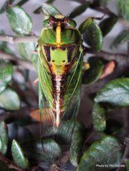 Phil Bendle Collection:Cicada (Sub alpine green cicada) Kikihia subalpine