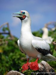 Phil Bendle Collection:Red footed booby (Sula sula)