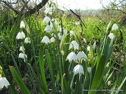 Phil Bendle Collection:Leucojum aestivum (Summer snowflake)