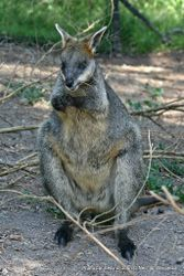 Phil Bendle Collection:Wallaby (Swamp) Wallabia bicolor