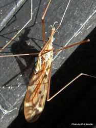 Phil Bendle Collection:Cranefly (Swamp) Zelandotipula novarae
