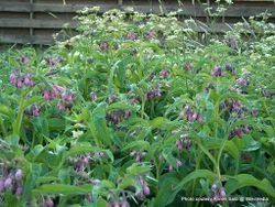 Phil Bendle Collection:Symphitum officinale (Common comfrey)