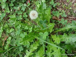 Phil Bendle Collection:Taraxacum officinale (Dandelion)