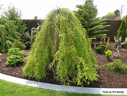 Phil Bendle Collection:Taxodium distichum Cascade Falls