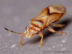 Phil Bendle Collection:Bug (Eucalyptus bronze bug) Thaumastocoris peregrinus