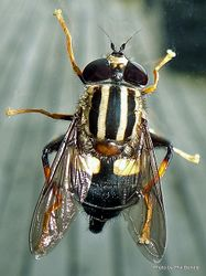 Phil Bendle Collection:Fly (Hover) Three-lined hoverfly (Helophilus seelandicus)