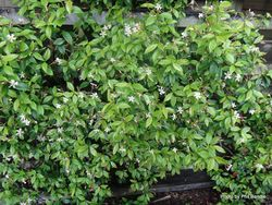 Phil Bendle Collection:Trachelospermum asiaticum (Asiatic jasmine)