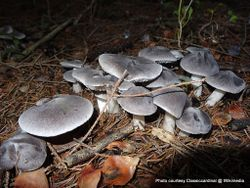 Phil Bendle Collection:Tricholoma terreum (Grey Knight) .
