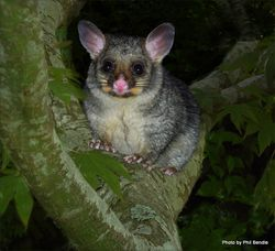 Phil Bendle Collection:Possum (Trichosurus vulpecula)