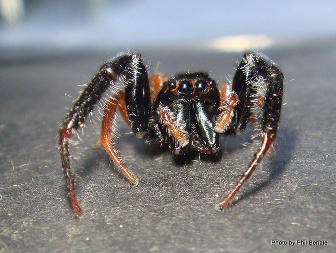 1-Trite planiceps Blackheaded jumping spider.JPG