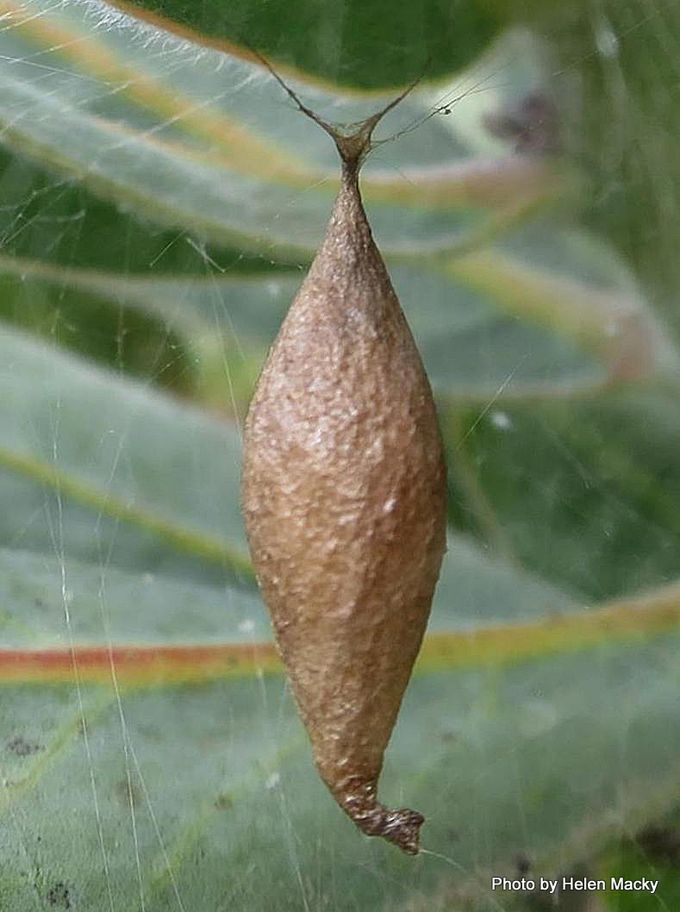 1-Two Spined spiders egg case.jpg