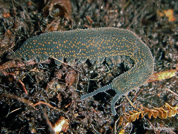 1-Velvet worm Peripatus suteri-009.JPG