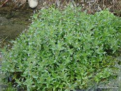 Phil Bendle Collection:Veronica anagallis-aquatica (Blue Water Speedwell)