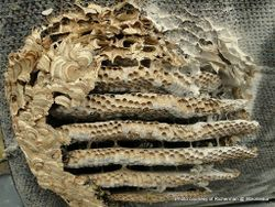 Phil Bendle Collection:Wasp nests (Photos and text)