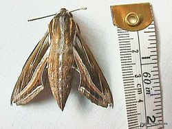 Phil Bendle Collection:Hippotion celerio (Vine hawk moth)