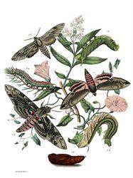 Phil Bendle Collection:Agrius convolvuli (Convolvulus Hawk-moth)