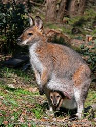 Phil Bendle Collection:Wallaby (Bennett s) Macropus rufogriseus rufogriseus