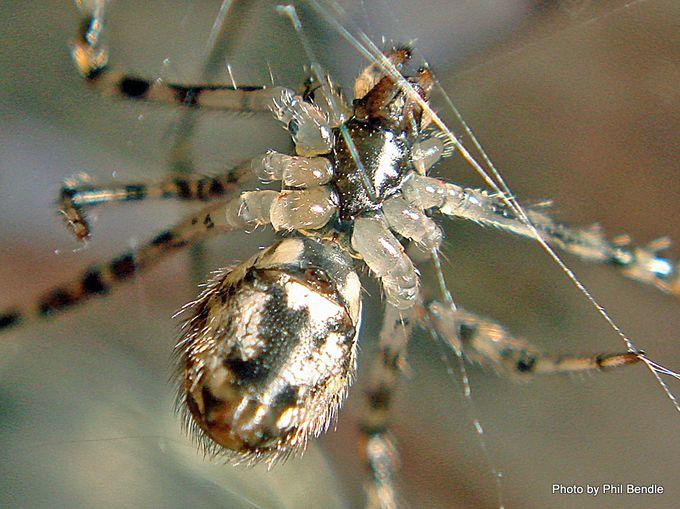 1-White Porch spider Cryptachaea gigantipes-004.JPG