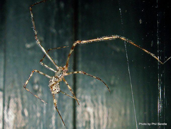 1-White Porch spider Cryptachaea gigantipes-010.JPG