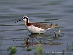 Phil Bendle Collection:Phalaropus (Wilson s phalarope) Phalaropus tricolor