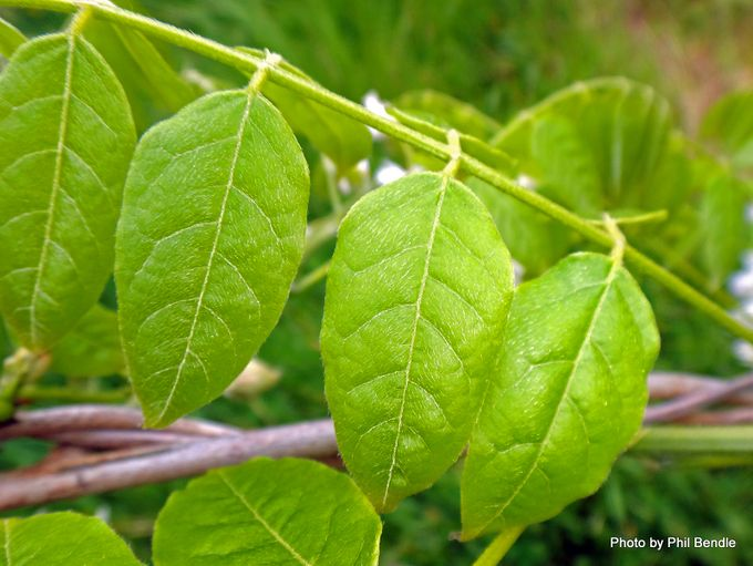 1-Wisteria sinensis Alba -003.JPG