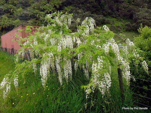 1-Wisteria sinensis Alba -006.JPG