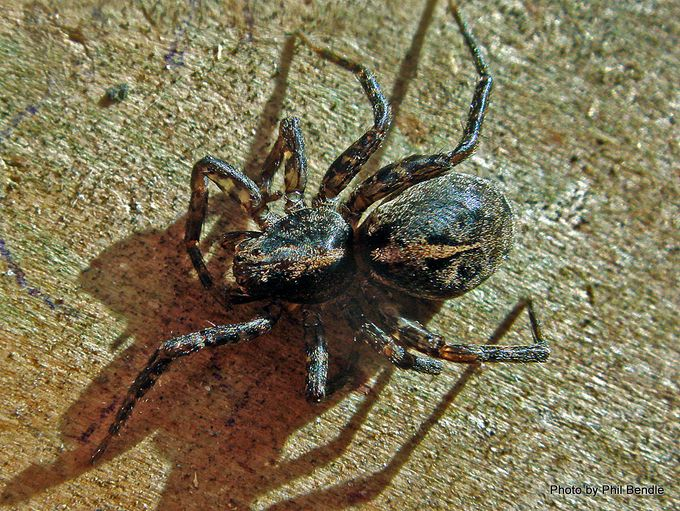 1-Wolf Spider Family Lycosidae.JPG