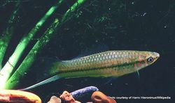 Phil Bendle Collection:Swordtail (Xiphophorus hellerii)