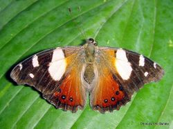 Phil Bendle Collection:Yellow Admiral butterfly (Vanessa itea)