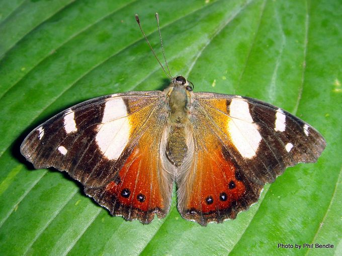 1-Yellow Admiral butterfly Vanessa itea.JPG