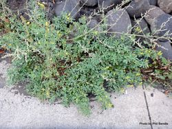 Phil Bendle Collection:Melilotus officinalis (Yellow sweetclover)