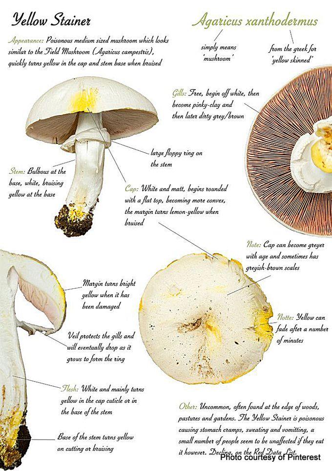 1-Yellow stainer mushroom.jpg
