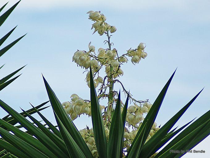 1-Yucca gigantea-001.JPG