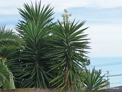 Phil Bendle Collection:Yucca gigantea (Spineless yucca)