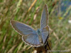 Phil Bendle Collection:Southern blue butterfly (Zizina labradus oxleyi)