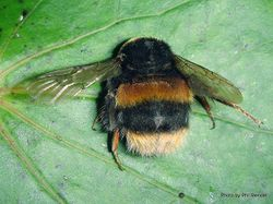 Phil Bendle Collection:Bumble bee (Bombus terrestris)