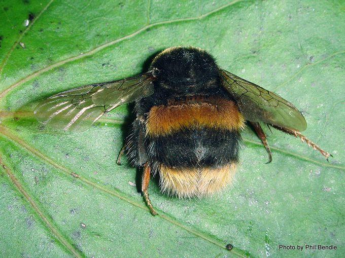 1- Buff-tailed Bumblebee Bombus terrestris .JPG