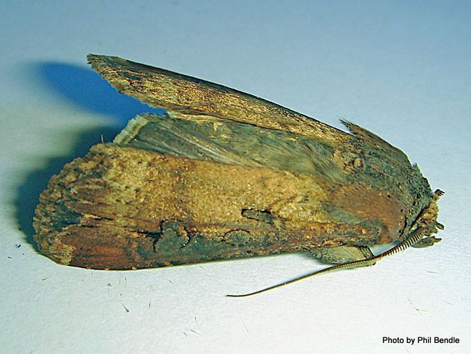 1- Dark sword-grass Agrotis ipsilon-002.JPG