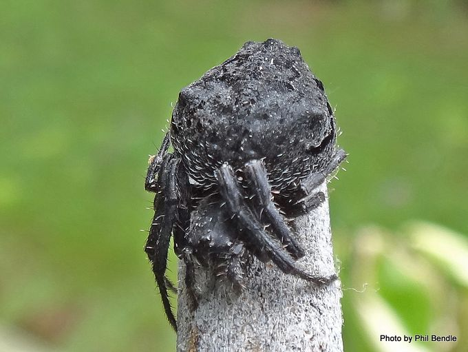 1- Eriophora pustulosa.JPG