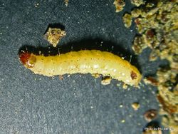 Phil Bendle Collection:Caterpillar of the Indian meal moth (Plodia interpunctella)