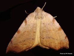 Phil Bendle Collection:Sestra flexata (Fern looper moth)