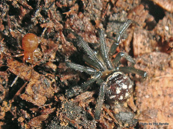 1- young Steatoda capensis. 6mm . 6mm spider.JPG