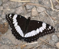 Phil Bendle Collection:Honshu White Admiral butterfly (Limenitis glorifica)
