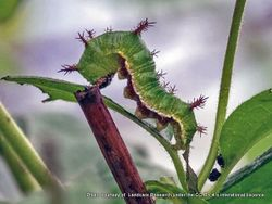 Phil Bendle Collection:Caterpillar of the Honshu white admiral (Limenitis glorifica) .