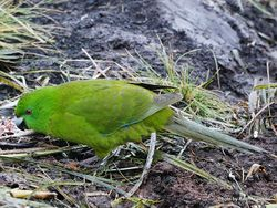 Phil Bendle Collection:Parakeet (Antipodes) Cyanoramphus unicolor