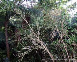 Phil Bendle Collection:Carmichaelia australis NZ native broom)